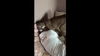 Domesticated Cougar Gently Tries To Wake Up Owner - Video