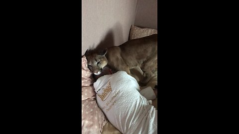 Domesticated Cougar Gently Tries To Wake Up Owner