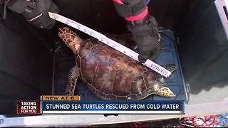 More than 100 cold-stunned sea turtles rescued by FWC as cold temps invade Florida - Video