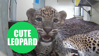 Two Sri Lankan leopard cubs and their mum playing