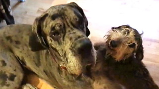 Horny Mini Doxie is Full of Love for Great Dane  - Video