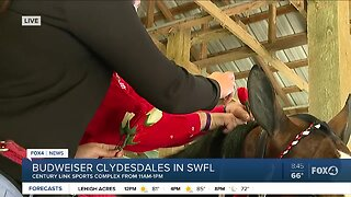 Braiding horse hair for Budweiser Clydesdales event in SWFL