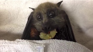 Cute Bat Stuffs Herself With Grapes - Video