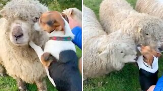 Dog loves his sheep, can't stop kissing them