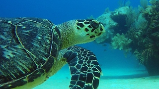 Endangered sea turtle provides diver with unforgettable experience - Video