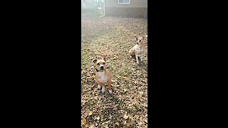 Dog have fun playing in massive leaf pile