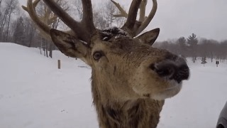 Up Close and Personal With Elk, Deer, and Boar in Parc Omega - Video