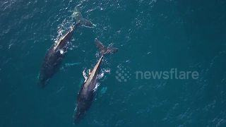 Beautiful drone footage captures mating humpback whales in Indian Ocean - Video