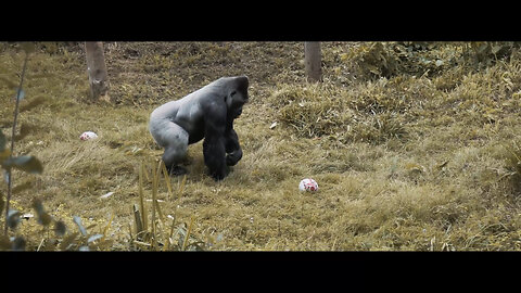 Gorilla spotted playing rugby