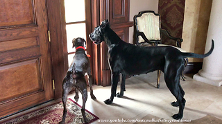 Pointer dog has obsession with hunting down lizards - Video