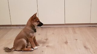 Excited Shiba Inu puppy loses it when owner comes home