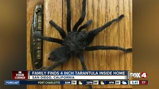 Family finds 4-inch tarantula inside home - Video