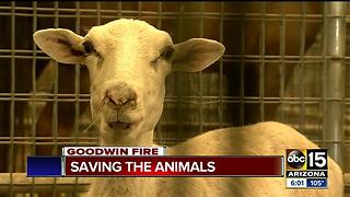 How volunteers are keeping animals safe during Goodwin Fire - Video