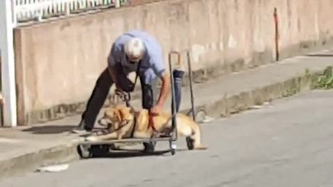 Loyal Owner Walks His Dog Suffering From Bone Cancer