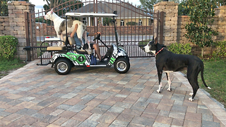 Max and Katie the Great Danes Enjoying Their Golf Cart  - Video