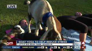 Goat yoga helps reduce stress