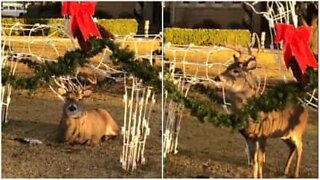 Deer camouflages himself in Christmas decorations