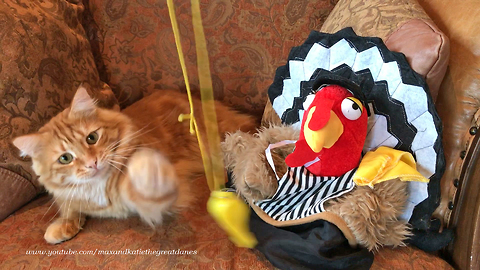 Funny Cat Plays with Referee Whistle and Thanksgiving Hats