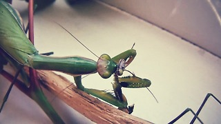 How the female praying mantis eats the male mantis - Video