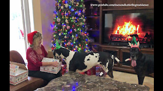 Festive Great Danes Love Opening Christmas Gifts From Their Fairy Godmother
