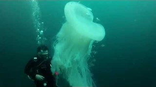 Scuba Divers Encounter Rare Jellyfish Beneath the Surface - Video