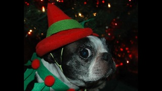 Christmas Pet Costumes - Video