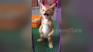 Kitten stands on two legs like a human