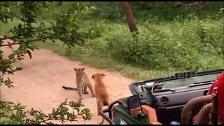 Dog faces off with leopard in tense safari trail encounter