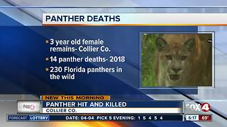 Florida panther killed by car in Immokalee