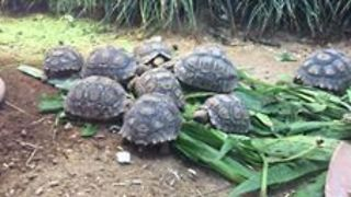 Tiny Leopard Tortoises Enjoy a Leafy Snack - Video