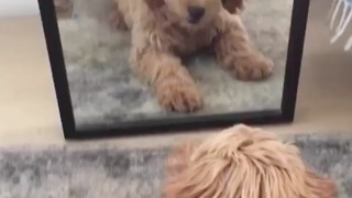 Goldendoodle really wants to befriend mirror reflection