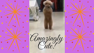 Amazingly Cute Dog Loves To Walk On Back Legs