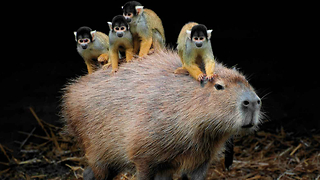 Squirrel Monkey Rides Capybaras in Japan - Video
