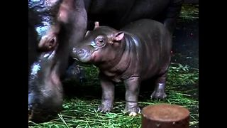 Baby Czech Hippos - Video