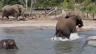 Elephants in pool - Video