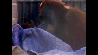 Primates Wrap Up Warm In Brazil - Video
