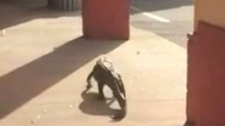 Alligator Takes Stroll Through Florida Strip Center - Video