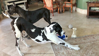 Great Danes Interrupt Howling Playtime To Become Watch Dogs