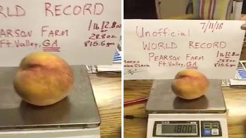 Fame and the giant peach! Massive peach perfect fruit the size of a small melon breaks world record