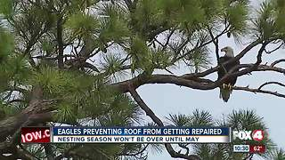 Eagle Preventing Roof From Getting Repaired - Video