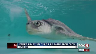 Endangered Sea turtle released from CROW