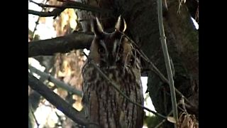 Hungarian Owl Mystery - Video