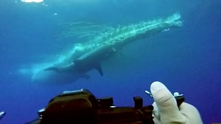 Divers capture massive great white shark feeding on whale carcass underwater