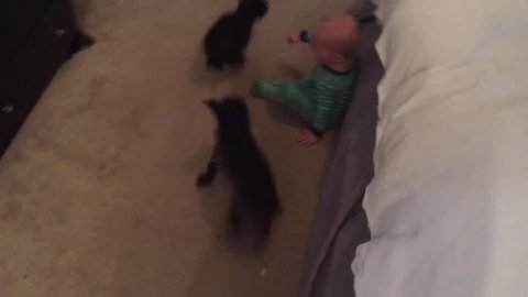 Two Dogs make Baby Laugh Hysterically