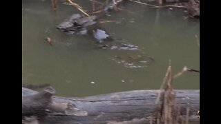 Industrious Platypus Forages for Food at Tidbinbilla Nature Reserve, Canberra