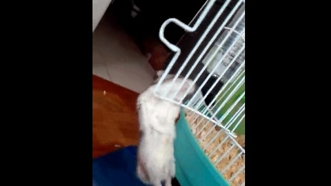 Hamster performs most adorable pull-ups ever