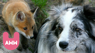 Dog and Fox Become Friends - Video