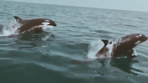 Killer Whales spotted near the coast of Marbella, Spain