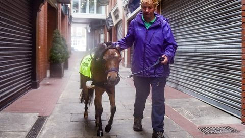 Miniature Horse Is Training To Become A Guide Pet For Blind People