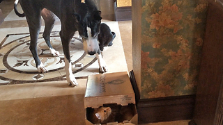 Katie the Great Dane talks and traps Jack the cat in a box - Video